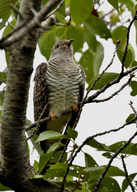 ツツドリ幼鳥5605