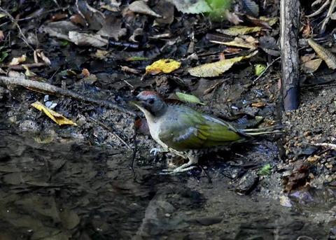 アオゲラ幼鳥♂8558