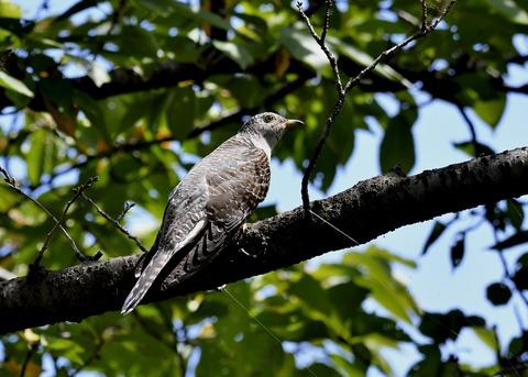 ツツドリ幼鳥6255