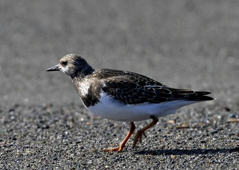 キョウジョシギ幼鳥5812