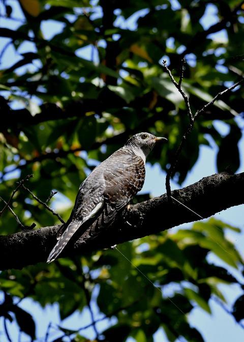 ツツドリ幼鳥6251
