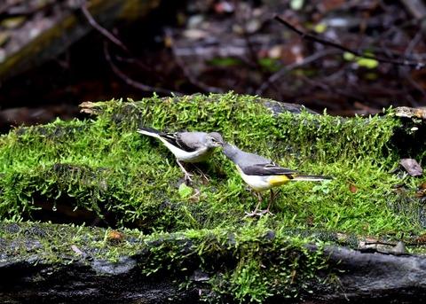キセキレイ幼鳥8221