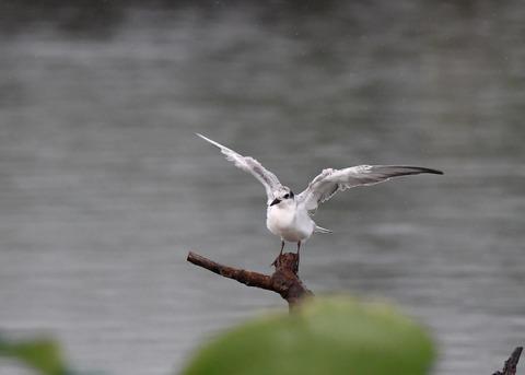 クロハラアジサシ幼鳥1832