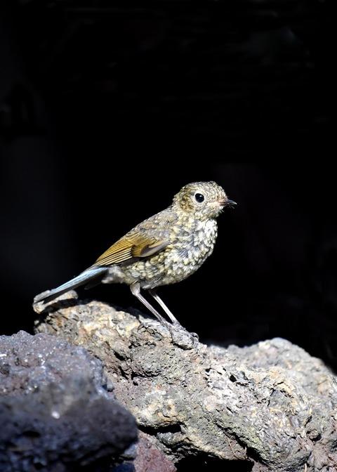 ルリビタキ幼鳥1698