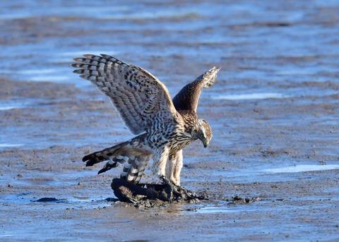 オオタカ若鳥0752