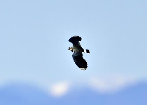 飛ぶ・タゲリ1798