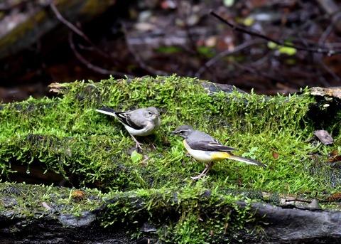 キセキレイ幼鳥8226