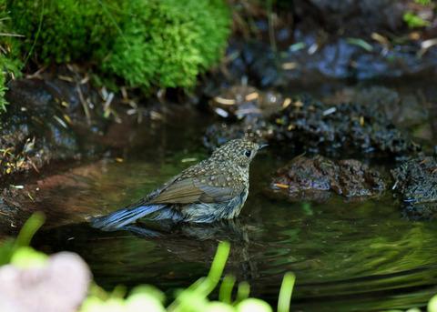 ルリビタキ幼鳥1897