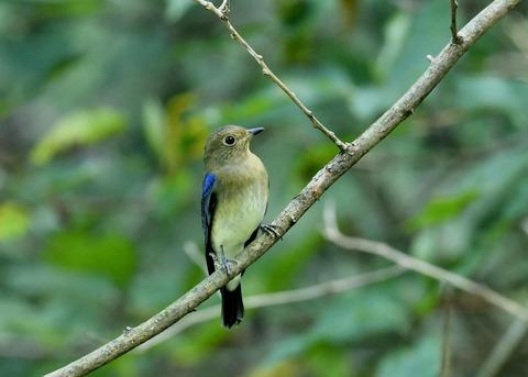 オオルリ♂若鳥0760