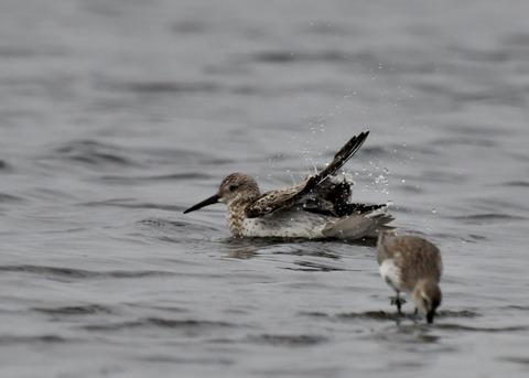 水浴び・オバシギ幼鳥4558