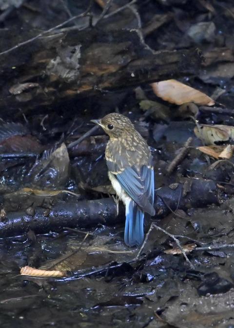 オオルリ♂幼鳥4397