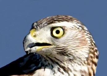 オオタカ若鳥0501(689)