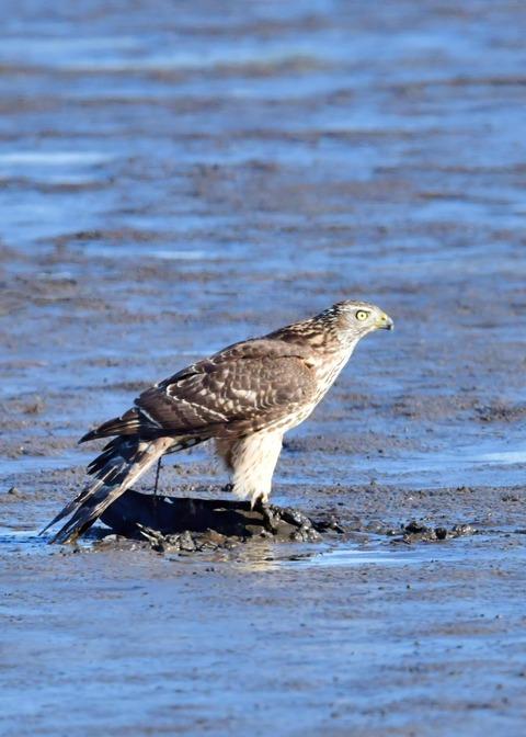 オオタカ若鳥0736