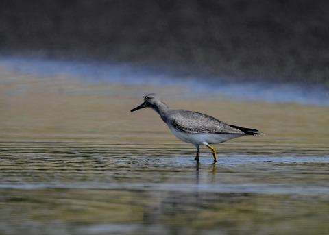 キアシシギ幼鳥9131