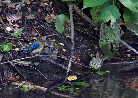 オオルリ♂幼鳥4139