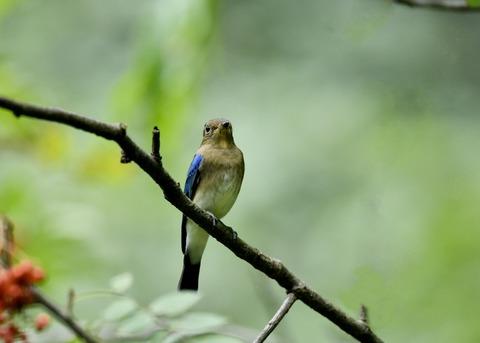 オオルリ♂若鳥0549