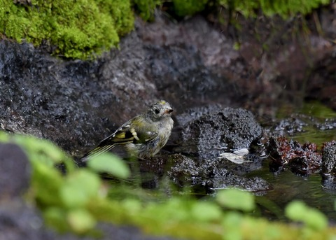 キクイタダキ幼鳥2862