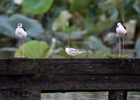 クロハラアジサシ幼鳥2667