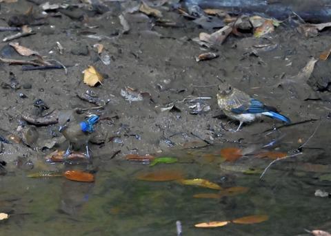 オオルリ幼鳥①②6303