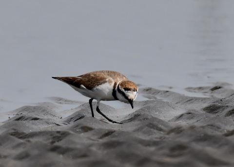 シロチドリ若鳥8360