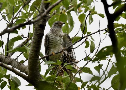 ツツドリ幼鳥5590
