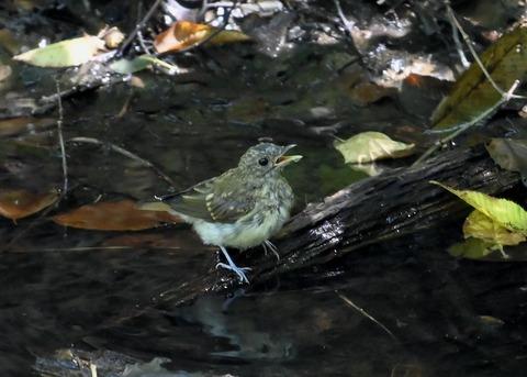 キビタキ幼鳥3453