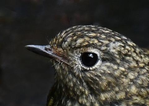ルリビタキ幼鳥3061