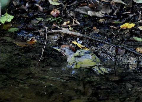 アオゲラ幼鳥♂8564