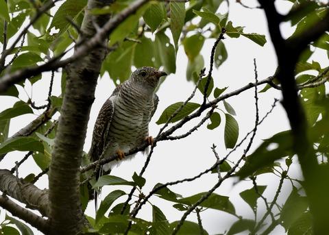 ツツドリ幼鳥5591