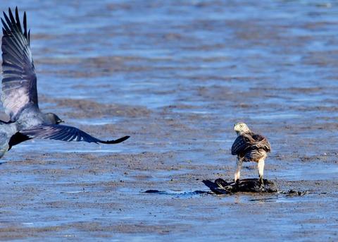 オオタカ若鳥0610