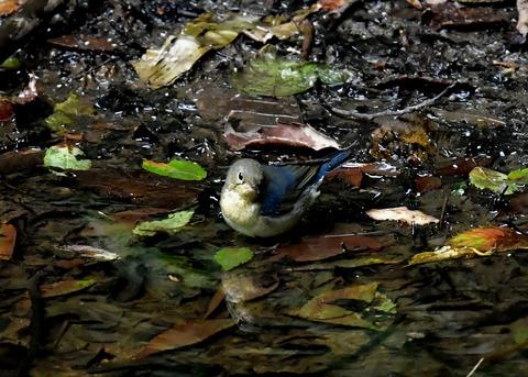 コルリ♂幼鳥4080