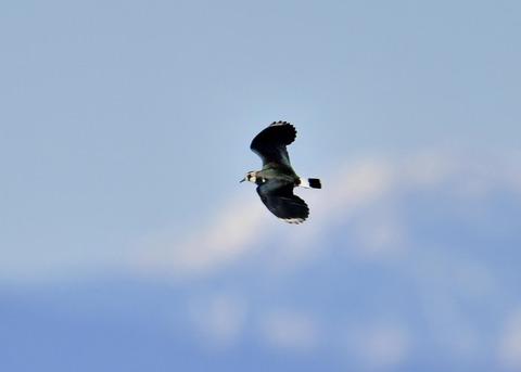 飛ぶ・タゲリ1796