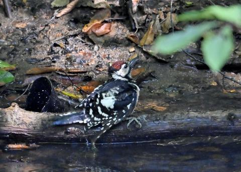 アカゲラ♂幼鳥3697