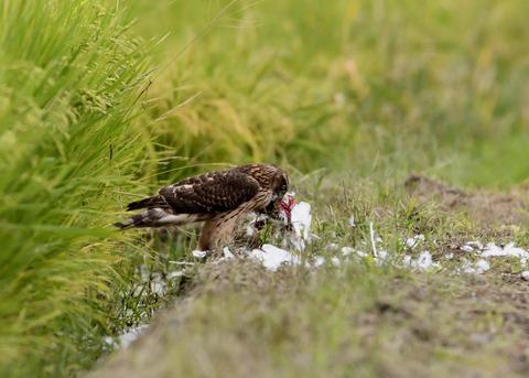 オオタカ若鳥3076