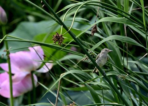 オオヨシキリ幼鳥8415