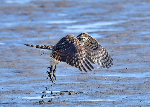 オオタカ若鳥0855