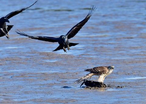 オオタカ若鳥0670