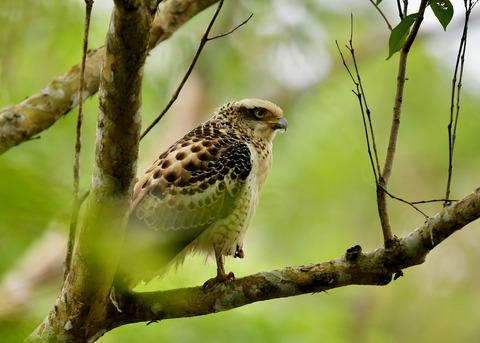 カンムリワシ若鳥6321