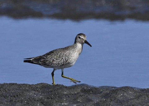 コオバシギ幼鳥0220