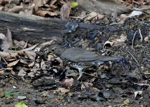 クロツグミ幼鳥5882