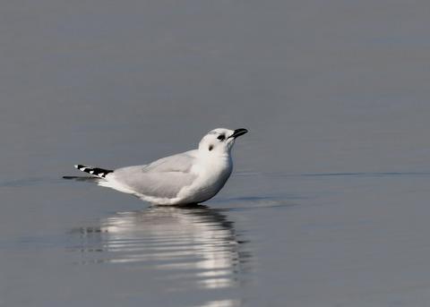 ズグロカモメ冬羽5037