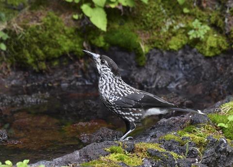 ホシガラス幼鳥3268