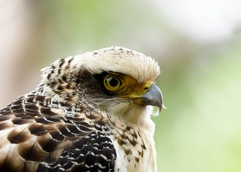 カンムリワシ若鳥6270