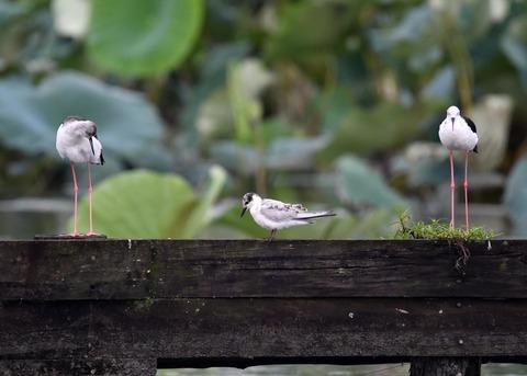 クロハラアジサシ幼鳥2665