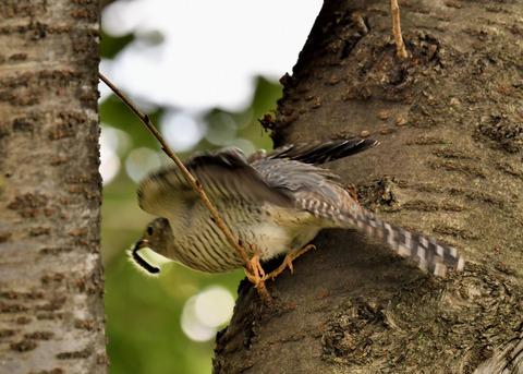 ツツドリ幼鳥6016