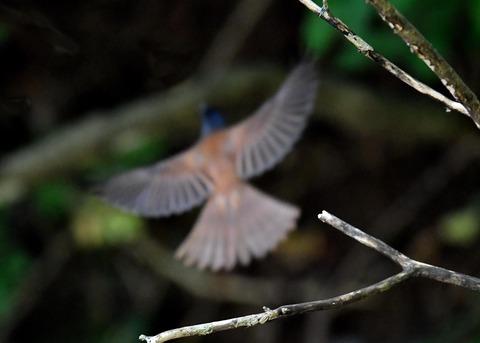 サンコウチョウ幼鳥5662