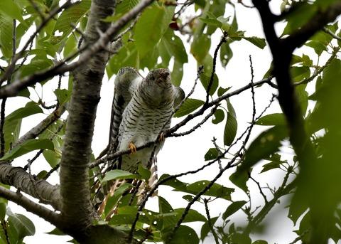 ツツドリ幼鳥5448