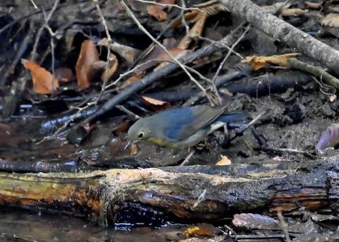 コルリ♂幼鳥2624