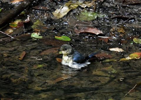 コルリ♂幼鳥4125