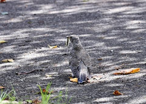 ツツドリ幼鳥6273